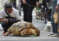 巨大亀の「ボンちゃん」、ゆっくりお散歩で街の人気者に 東京