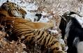 餌のヤギと友情育むトラ、ロシアで感動呼ぶ