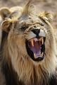 ライオンの骨、伝統薬人気がもたらす危機 南ア