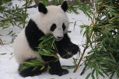オーストリア生まれの雄と雌の双子パンダ、中国に返還