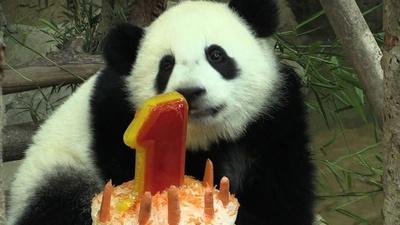 動画:パンダの赤ちゃんが1歳に、氷のケーキでお祝い マレーシア