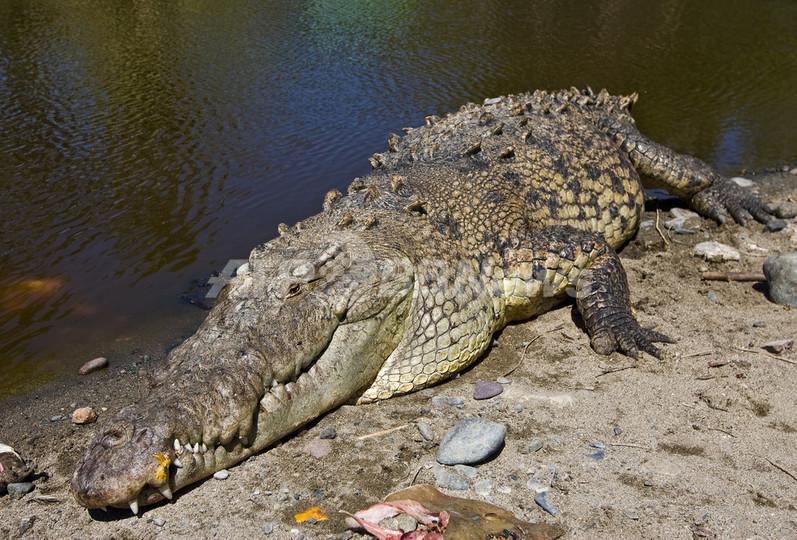 巨大ワニに襲われ10歳少年死亡、河川氾濫のメキシコ南部