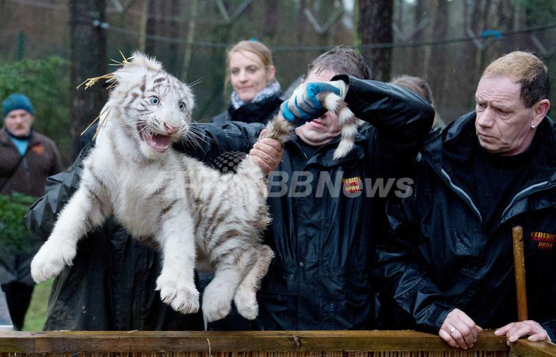白いライオンと白いトラ、仲良く定期健診
