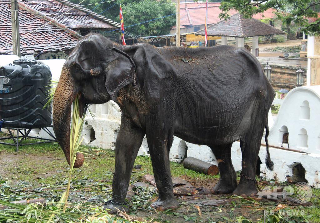 痩せこけたゾウ、祭りに出演後倒れる スリランカ当局が経緯を調査へ
