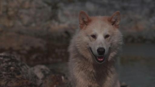動画:犬ぞり猟が消える? 気候変動で伝統にも危機 グリーンランド