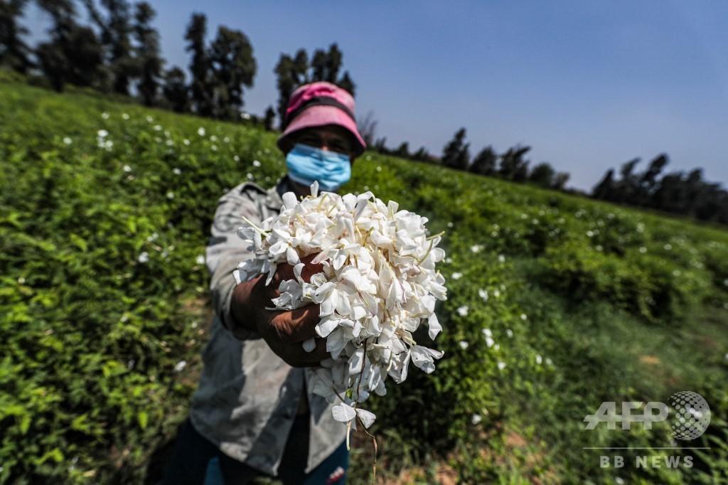 エジプトのジャスミン栽培支える深夜の花摘み、世界供給量の半分