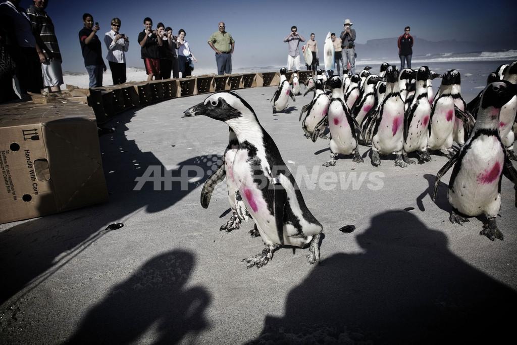 原油汚染被害のペンギン38羽、治療を終え海へ帰る