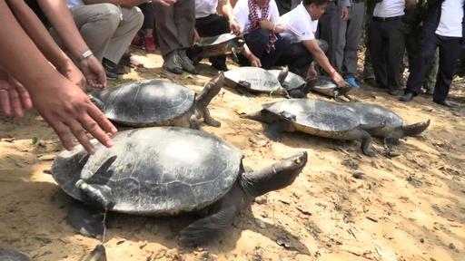 動画:希少なカメ、ロイヤル・タートル20匹を川へ、繁殖に期待 カンボジア
