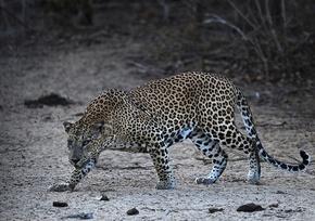 インド女性、襲撃のヒョウを鎌で殺し生還