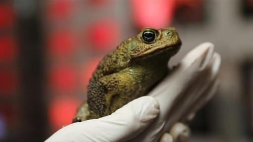 動画:豪北部に生息する有毒ガエル、南部でも発見 生態系に影響の恐れ