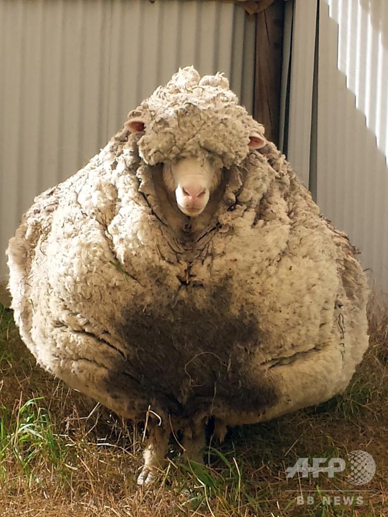 毛が伸びすぎた羊のクリス、老衰で死ぬ 豪