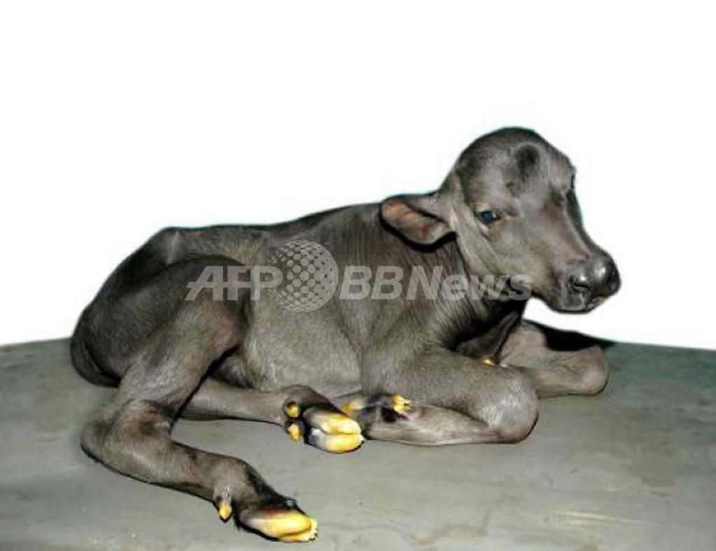 インドの研究所、クローン水牛の誕生に成功