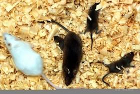 遺伝子編集技術、マウスの筋ジストロフィーに効果 研究