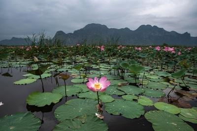【AFP記者コラム】タイの湖から聖なる花、ハスの季節
