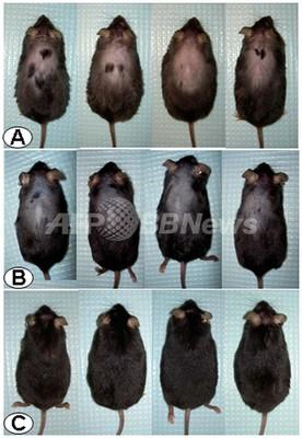 ストレス阻害物質に発毛効果を発見、米実験中に偶然