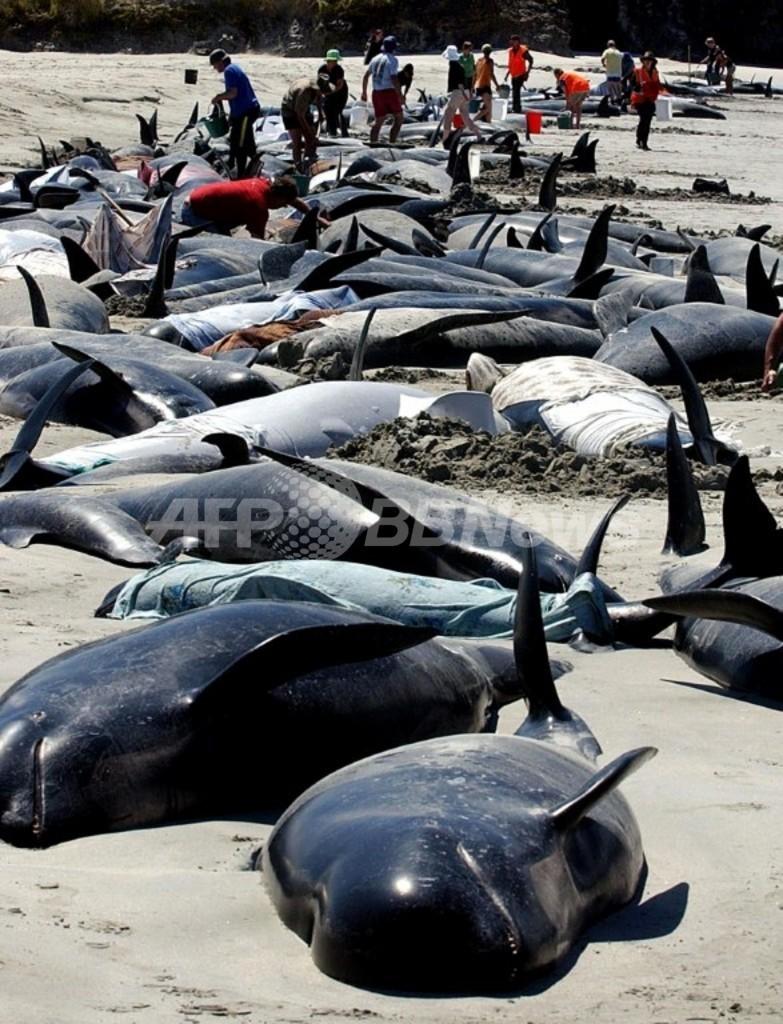 ニュージーランド南島でクジラ90頭が座礁