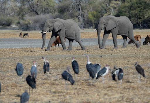 ハンターが保護下のゾウを射殺、ボツワナで環境保護団体が抗議