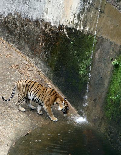 漢方薬の需要拡大で原料のトラ、絶滅の危機に