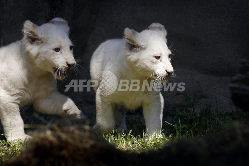 探検デビュー!ホワイトライオンの赤ちゃん一般公開、オランダ