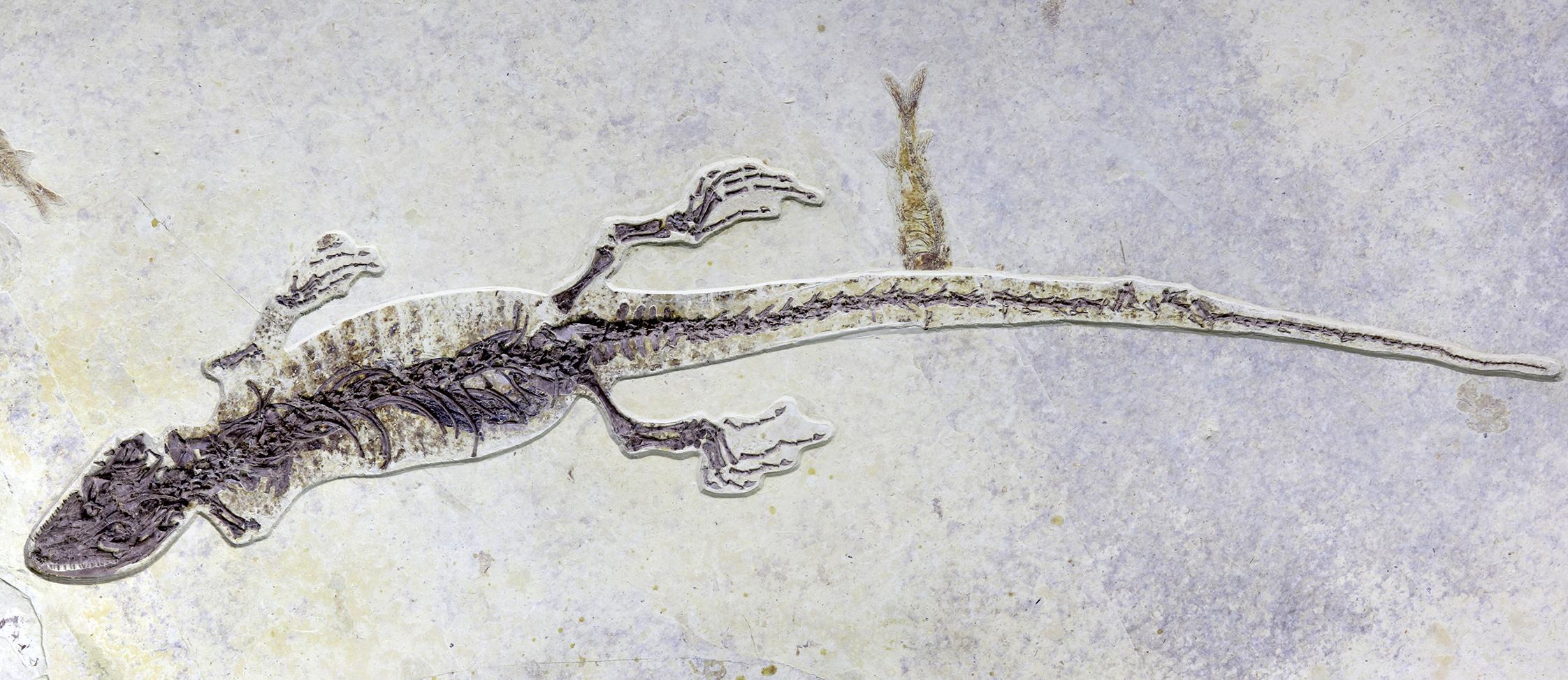 1億年前のヤベイノサウルス標本、中国・遼寧省で発見 胃に内容物も