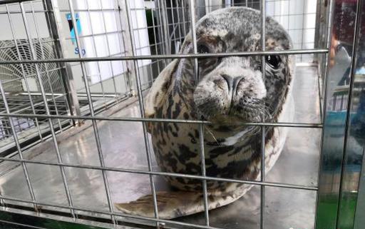 ゴマフアザラシ24頭が海へ帰る 大連の密漁事件摘発で保護