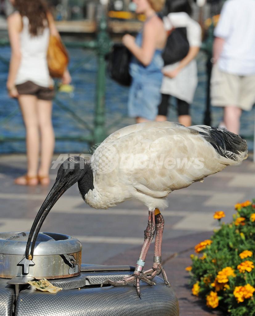 ごみ箱あさるトキ・・・わが物顔の野鳥たちが悩みの種に、豪シドニー