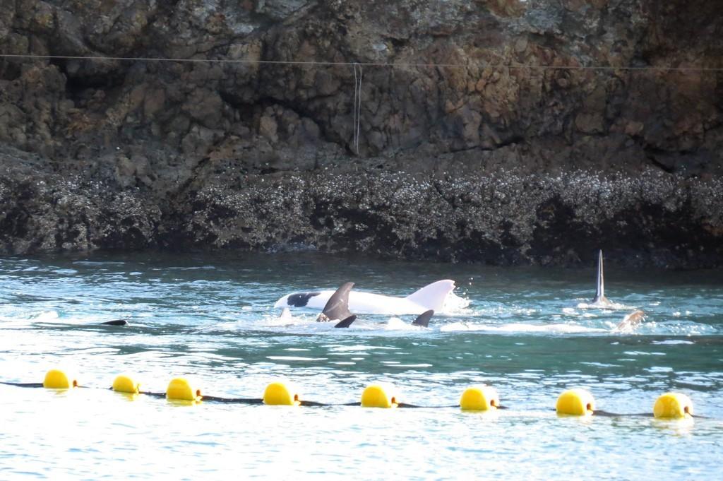 太地町の漁師らが白いイルカ捕獲、シー・シェパード発表
