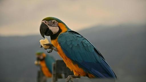 動画:食事しにバルコニーに飛んでくる野生のインコ ベネズエラ