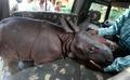 生後3日の赤ちゃんインドサイ、印国立公園で見つかる