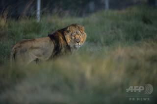 ライオン11頭の死骸、毒殺の疑い ウガンダ国立公園