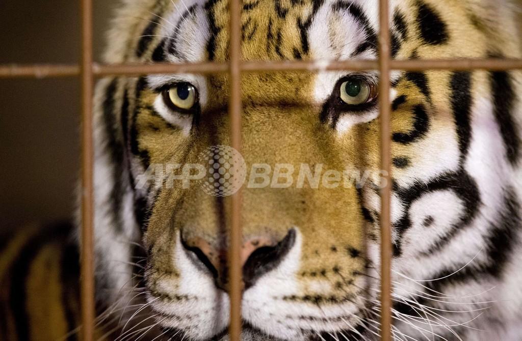 動物園で飼育員がトラに襲われ死亡、独ミュンスター