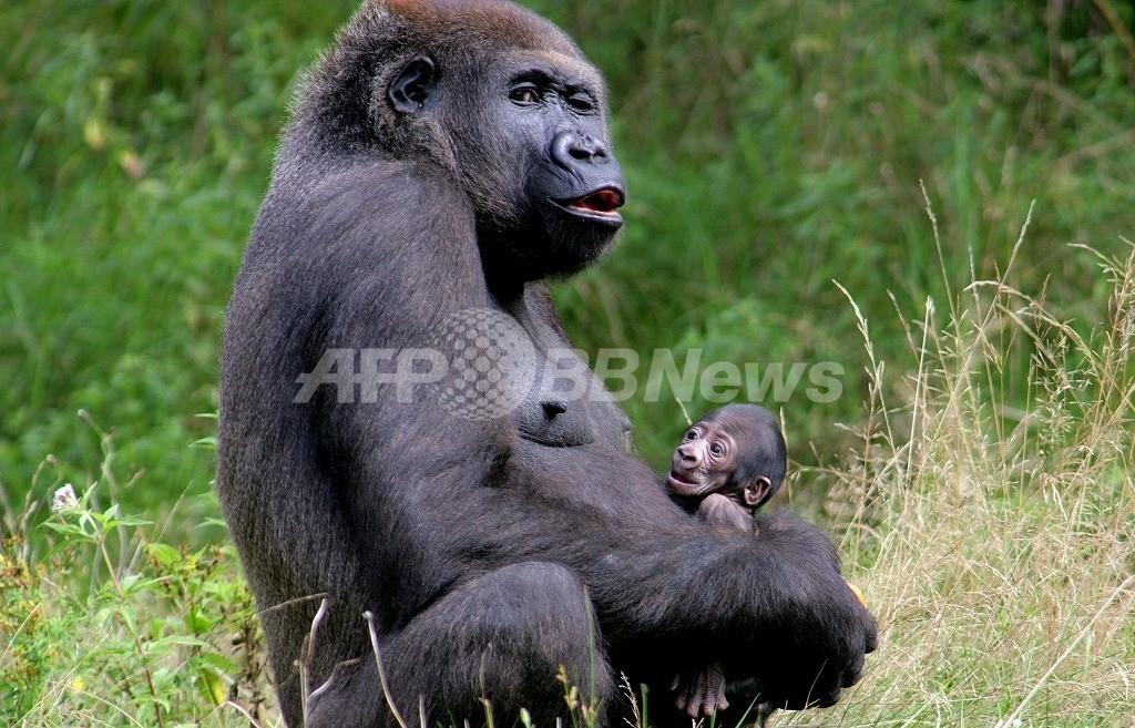 欧州委員会、類人猿使った動物実験を禁止する法案を提出