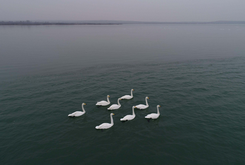 中国最大の砂漠淡水湖に多くの渡り鳥が飛来 陝西省