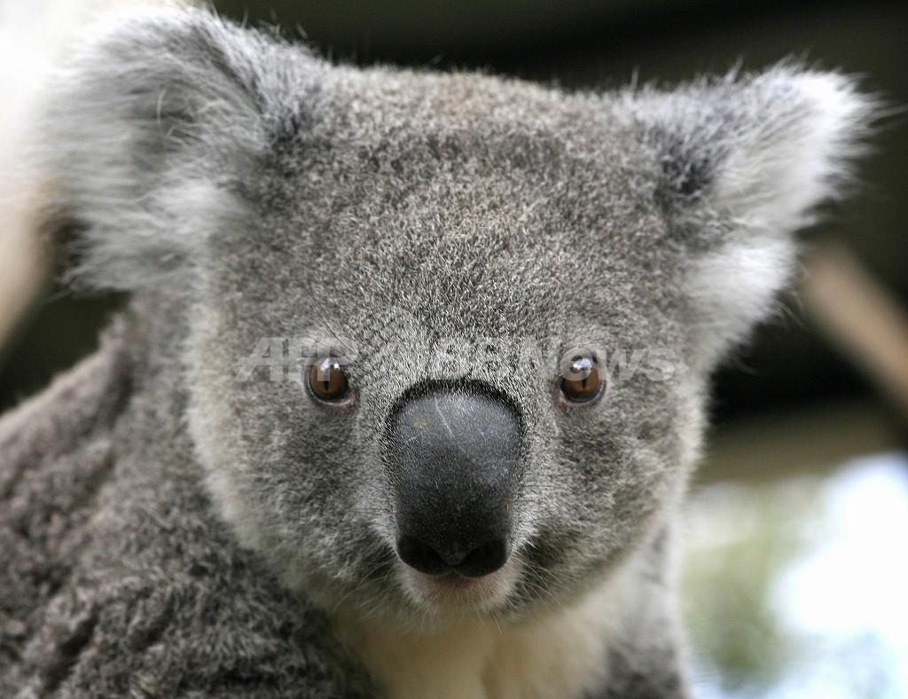 オーストラリア、放牧地の開墾で多くの生物が危機に コアラも大量に死亡