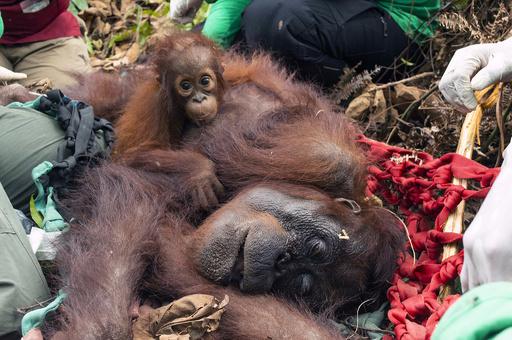 森林火災で救出されたオランウータン母子、森に帰る インドネシア