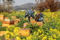 菜の花畑でハチミツ集め 貴州省