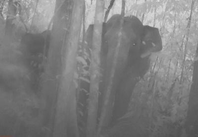 絶滅危惧種のゾウ、撮影に成功 カンボジア南西部