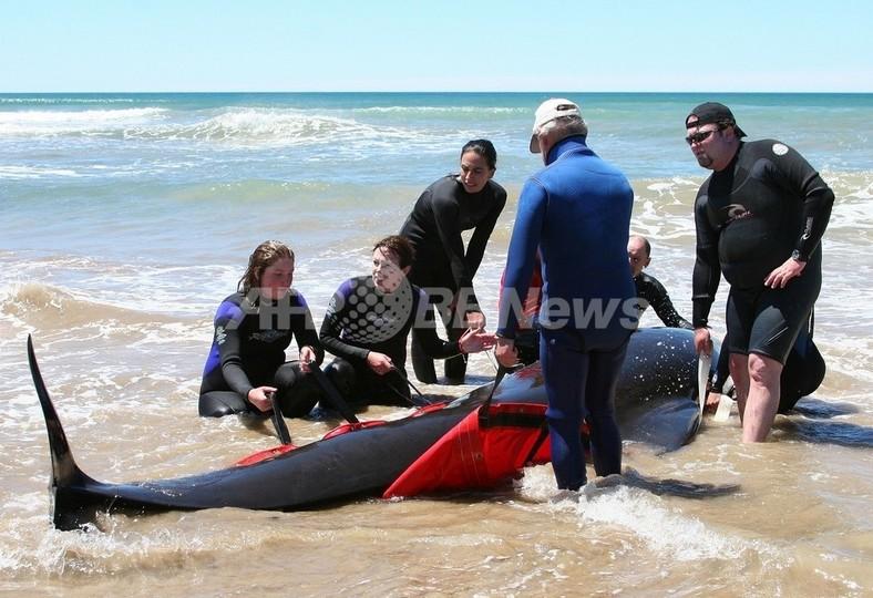 クジラの大群が岩場に乗り上げる、150頭以上が死亡 タスマニア島
