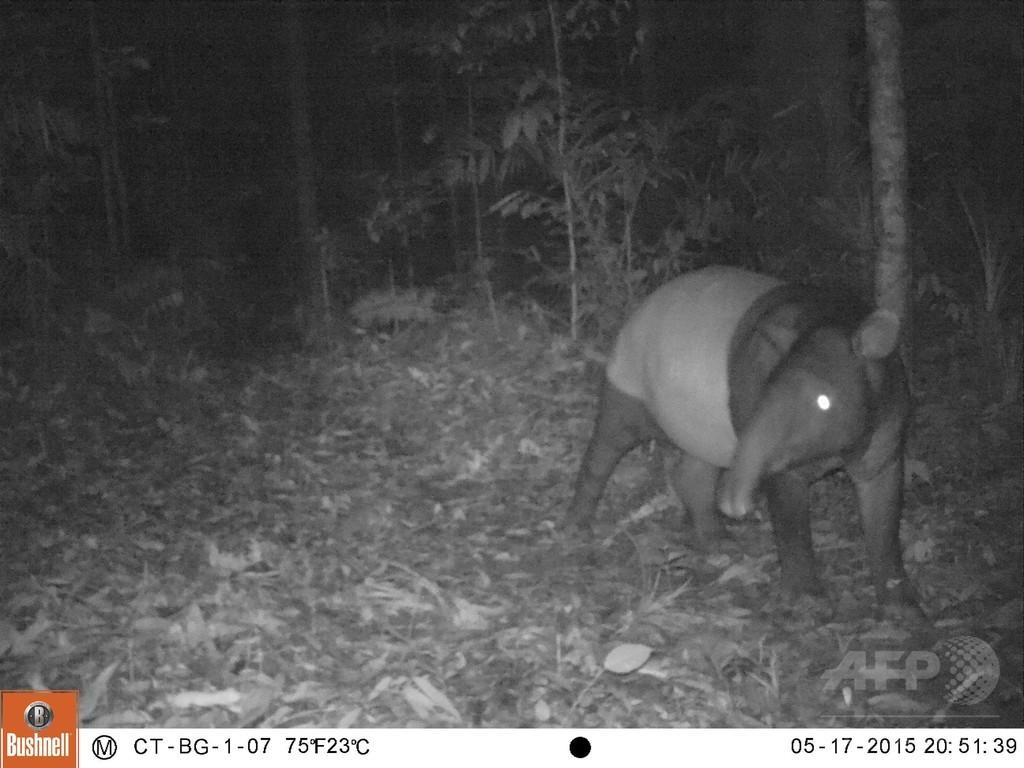 スマトラ島の絶滅危惧種、貴重な写真撮影に成功