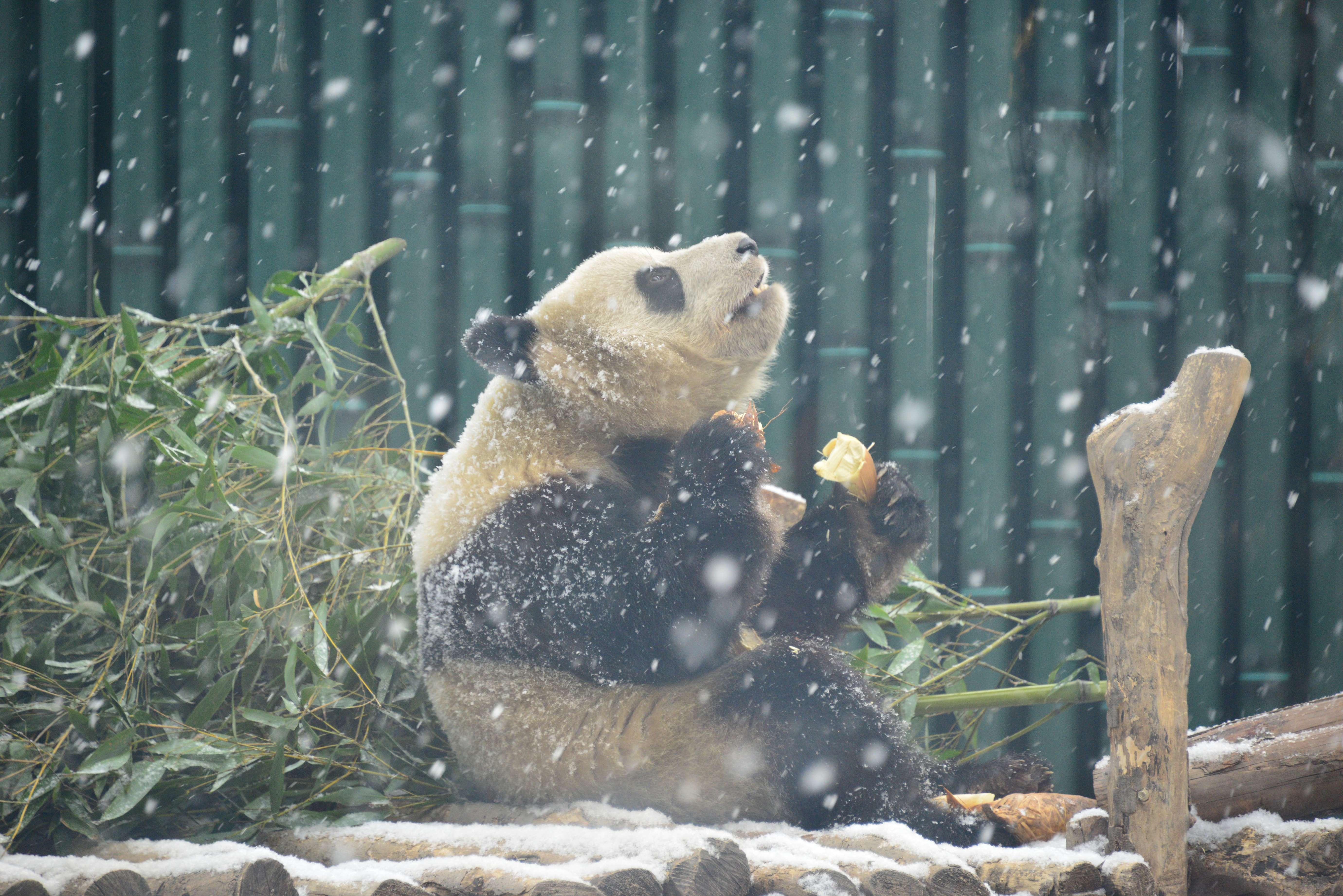 雪だぁ…大はしゃぎするパンダ 北京