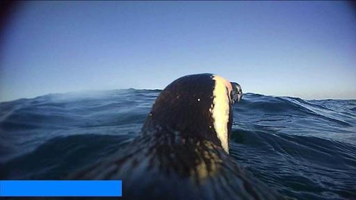 動画:ペンギン目線で捉えた映像、海鳥の魚捕獲技術のヒントに