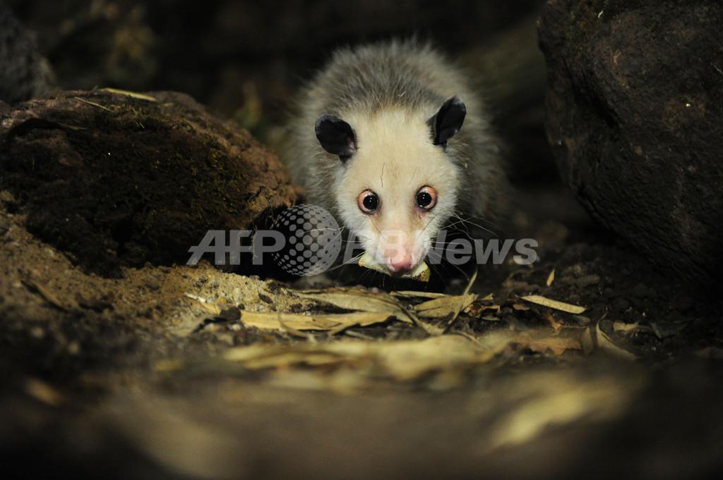 「寄り目のハイジ」死す、独動物園で人気のフクロネズミ