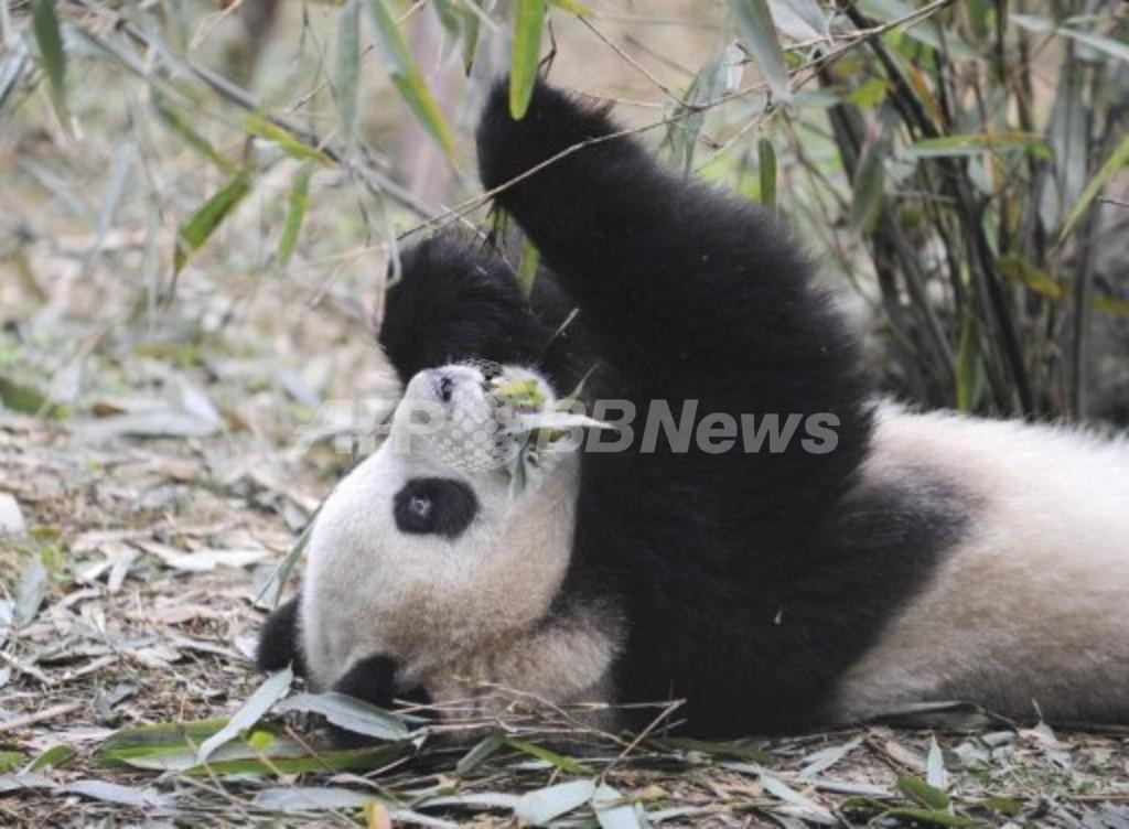 2012年にパンダ6頭を一斉に森へ、成都パンダ繁育研究基地