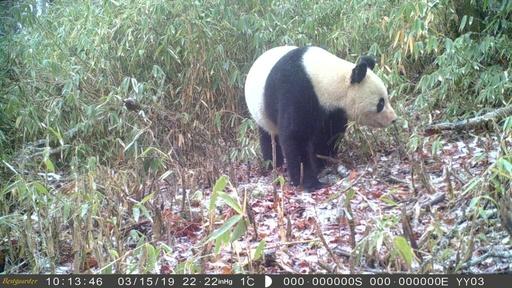 野生パンダの姿、観測カメラがキャッチ 四川・馬辺