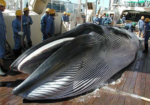 調査捕鯨、南極海での新計画を策定へ 太平洋では継続