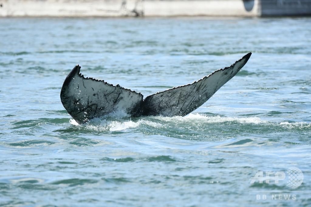 川にザトウクジラの子ども出現、餌求めて迷った? 加モントリオール