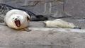 子育ては大変? 赤ちゃんの横でママが大あくび 独動物園
