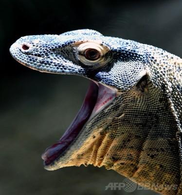コモドオオトカゲの画像 p1_22