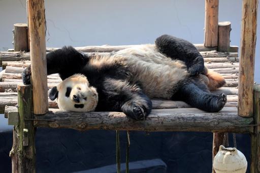 久しぶりの春の日差し、大喜びのジャイアントパンダ