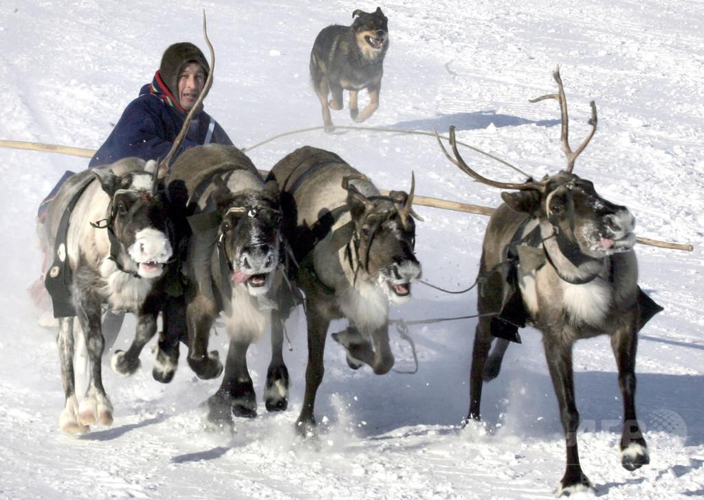 北極圏の温暖化でシベリアのトナカイ遊牧が危機、数万頭餓死も